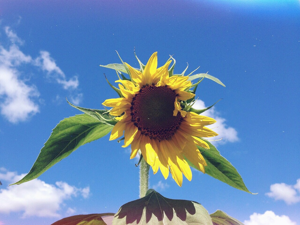 Summer skies and Sunflower inflorescence