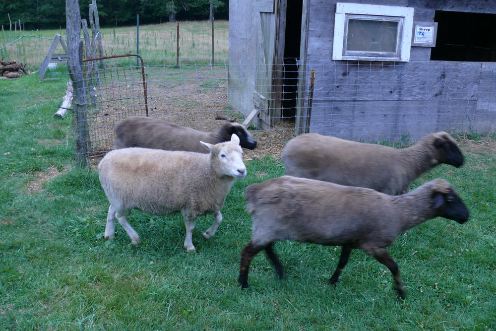 Sheep at Native Earth Teaching Farm's 2013 Lammas celebration, in Martha's Vineyard.