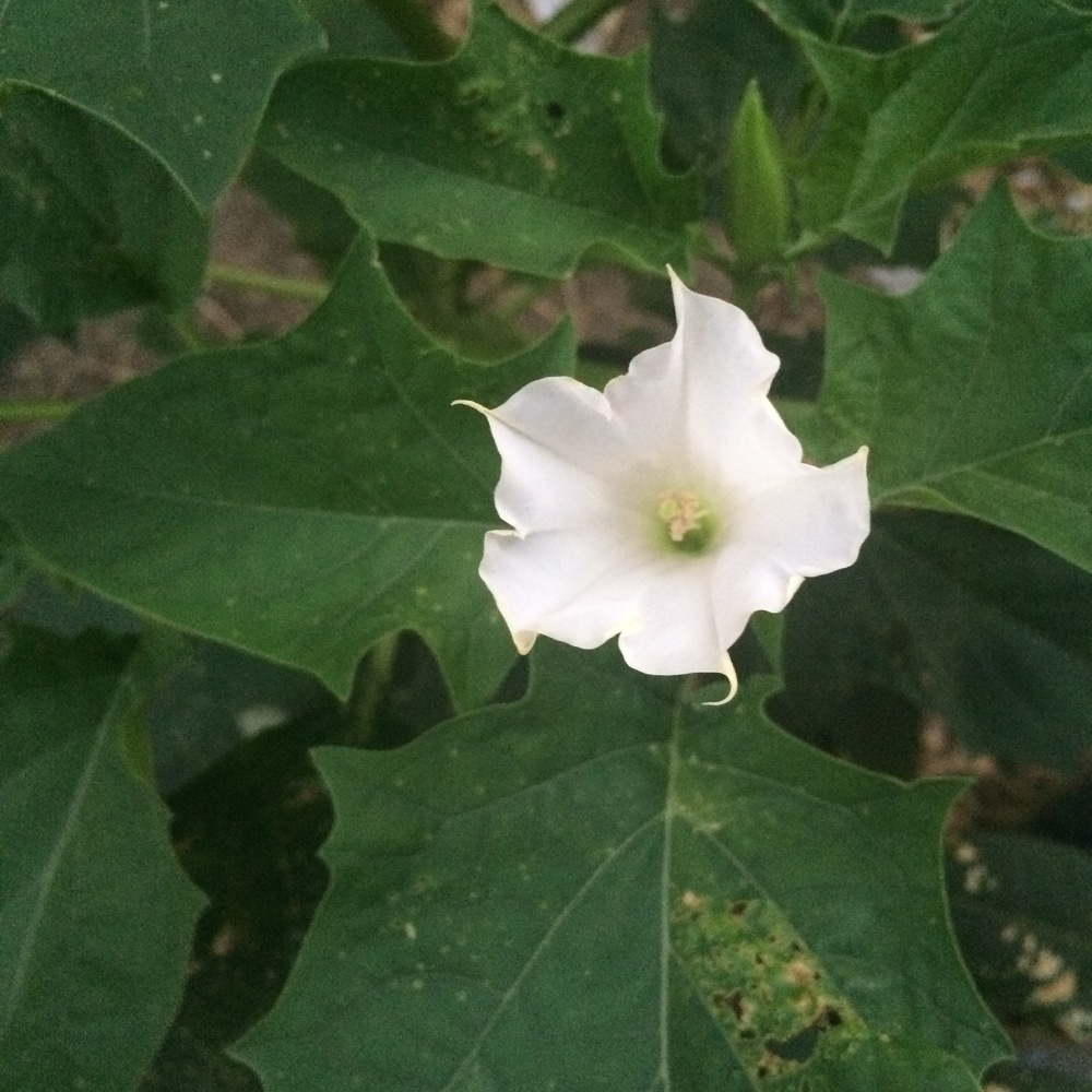 sacred datura. nyc. late summer, 2015.