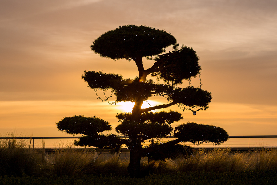 Bonsai tree at sunset