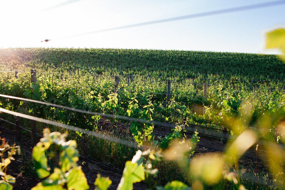 Vines-1.jpg
