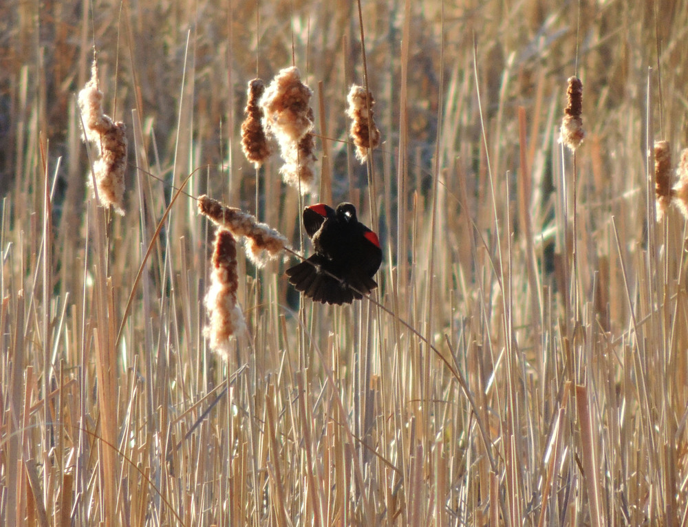 kellyannedaltonredwingblackbird
