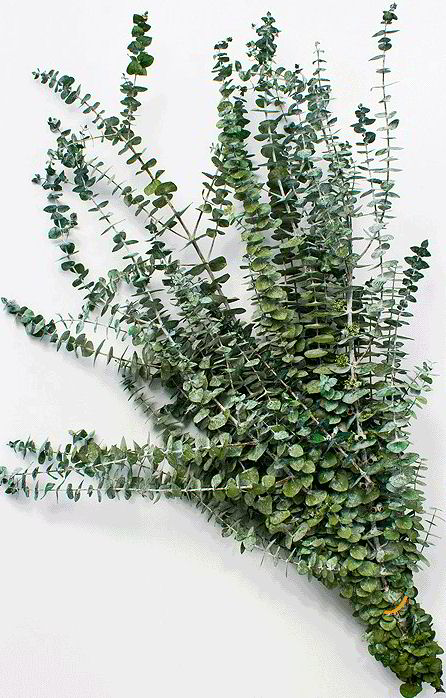 dried-eucalyptus-kiwi_LRG.jpg
