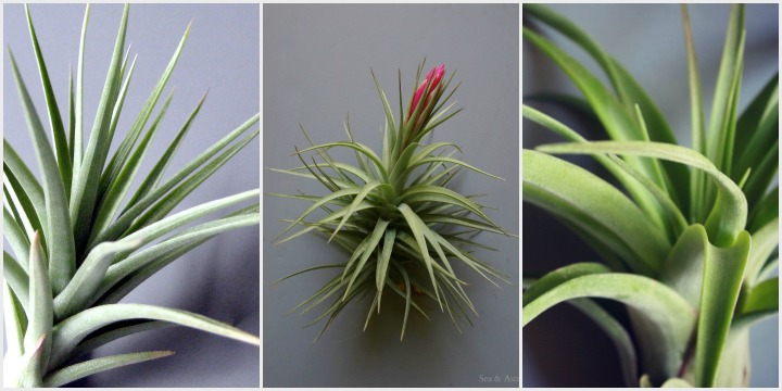 a variety of tillandsias