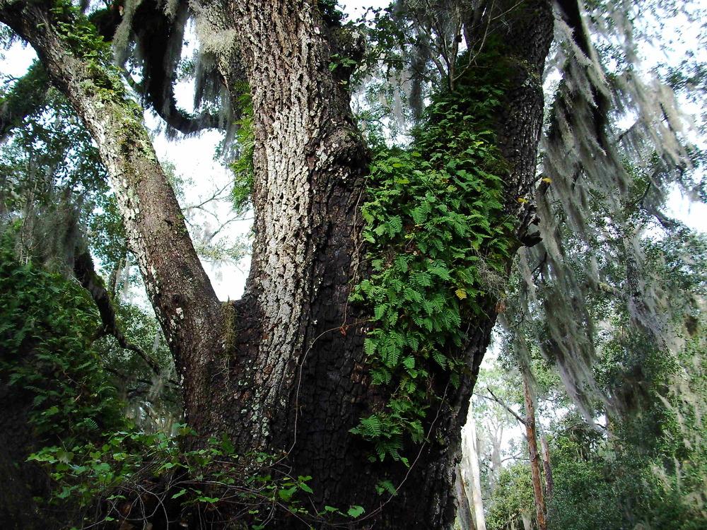 resurrection ferns on oak tree