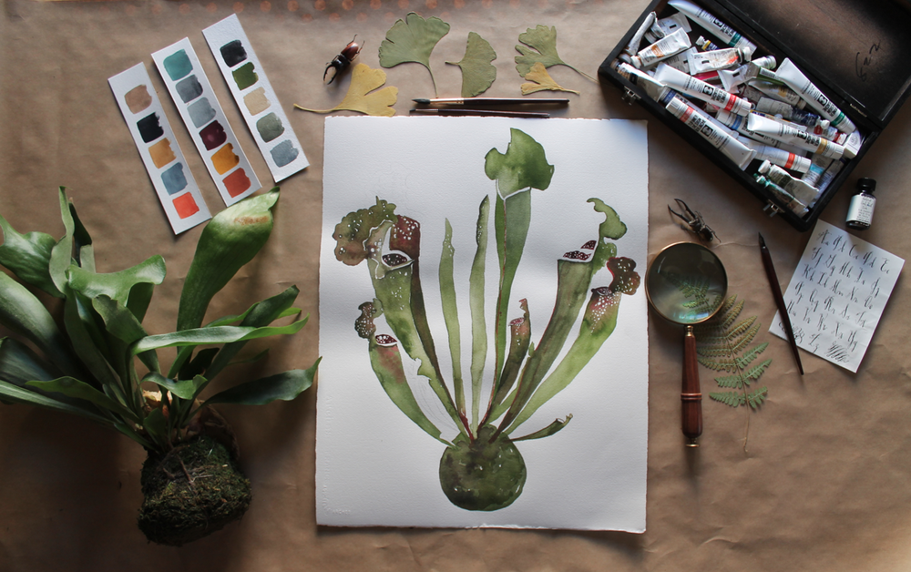 pitcher plant watercolor  painting  by Sarah