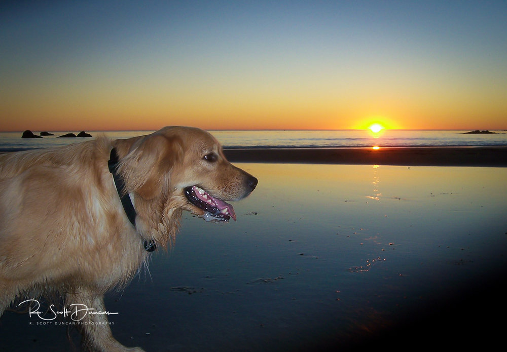 golden-retriever-dog-logan-california-beach