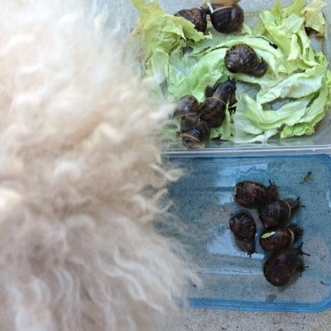 My dog Buddy, found the snails fascinating, almost tempted to eat one - he's so gross ewwwwwwww!!!