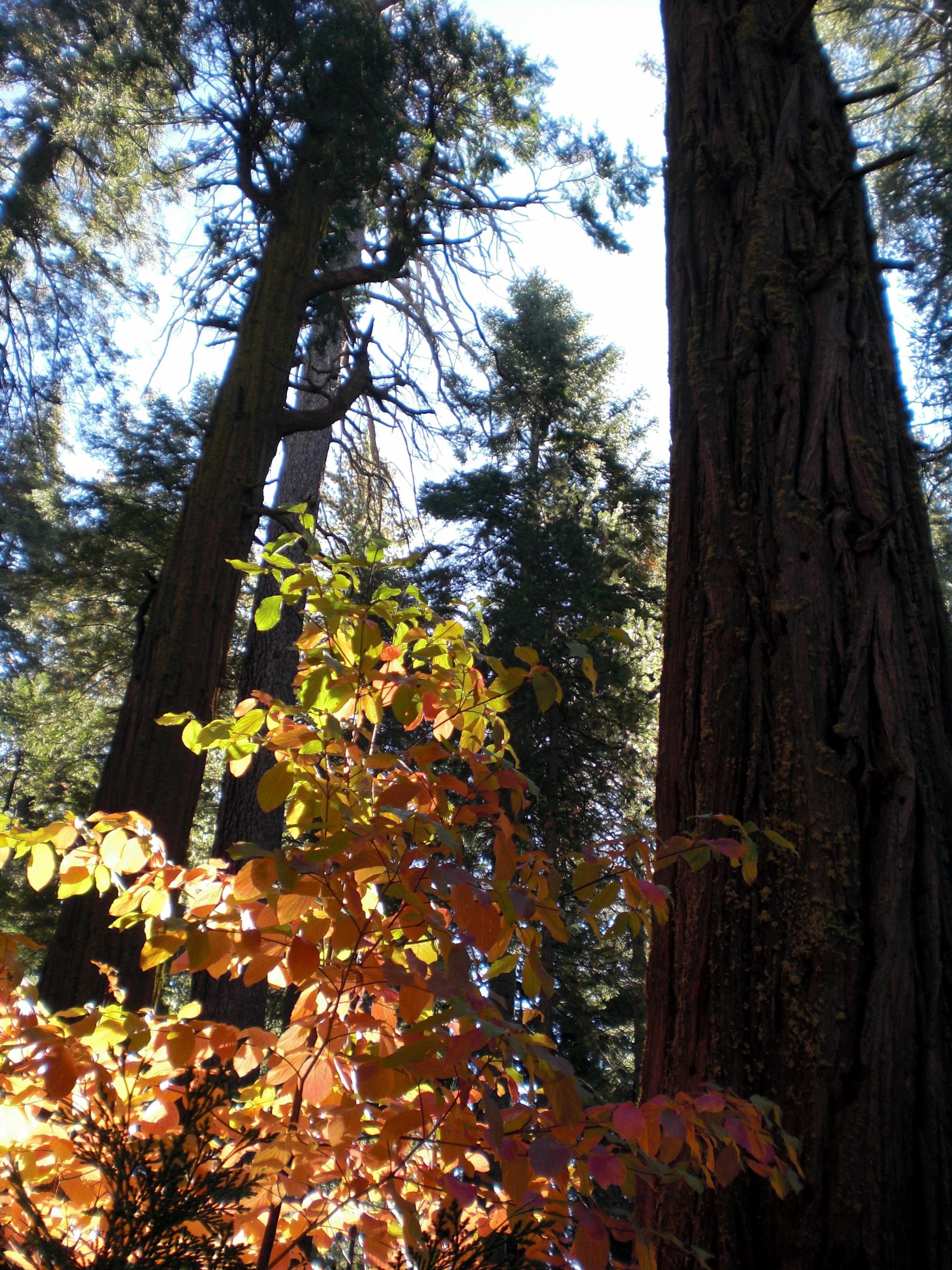 Calaveras Big Trees.
