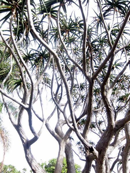 Aloe Trees