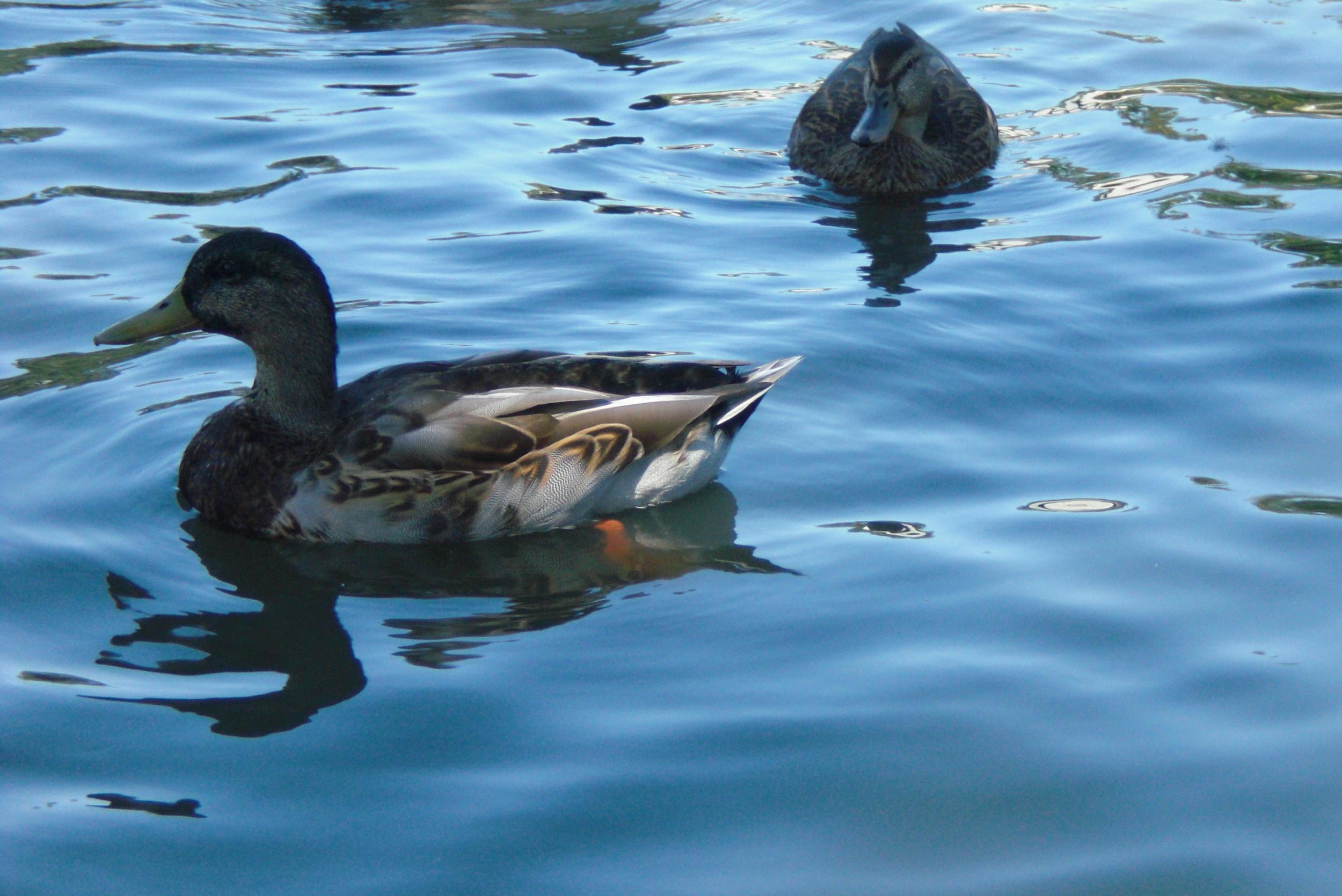 Ducks at Howe Park