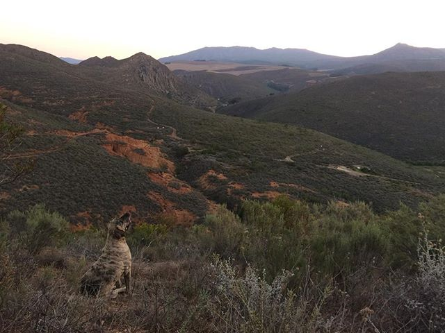 Balthazar admiring the view from a new trail we are forming on the far end of Dieplowe. An exquisite ode to renosterveld. #guestfarm #porcupinehills #renosterveld #fynbos #overberg #discoveroverberg #trail #southafrica #explore #brazilianbloodhound