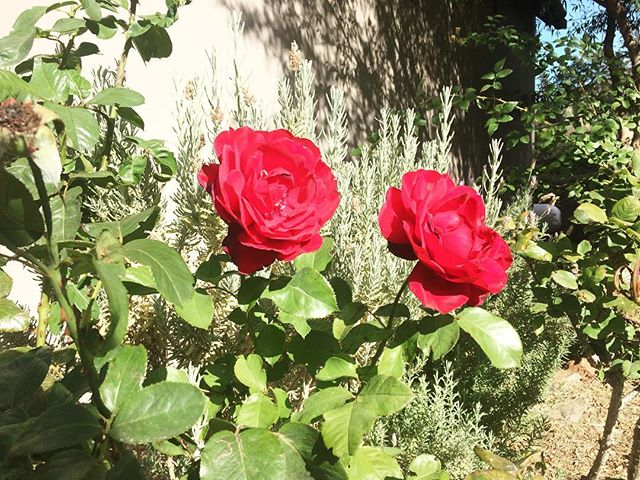 Roses bloom outside Eyrie Cottage. Happy Sunday! 🌹 #porcupinehills #guestfarm #accomodation #overberg #discoveroverberg #groenlandberg