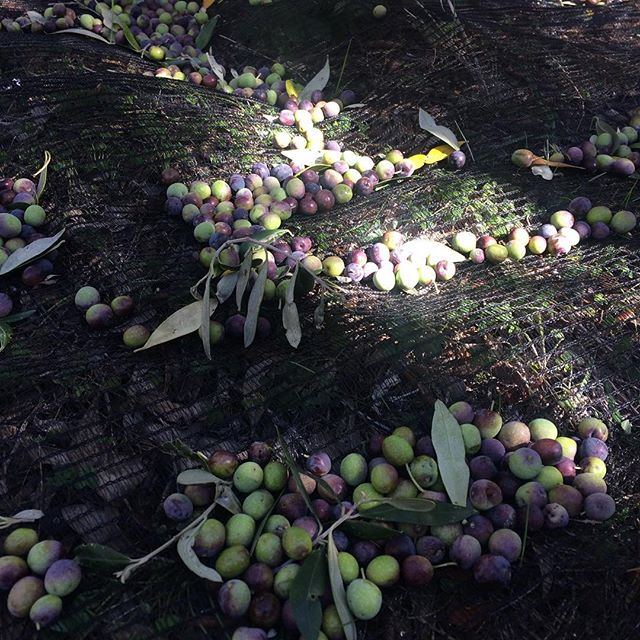 Today is a big day for us here! Olive harvesting has begun at #porcupinehills. We're very ready for a fresh batch of our cold pressed extra virgin olive oil. Thank you to our pickers! #olive #harvest #coldpressed #oliveoil #overberg #discoveroverberg #southafrica #autumn