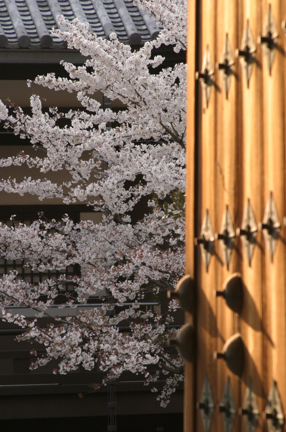 Cherry Tree Kyoto 04/2004   © photo by AJ Weissbard