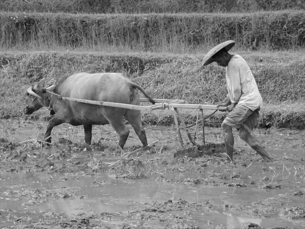 Man and Ox Bali 12/2001   © photo by AJ Weissbard