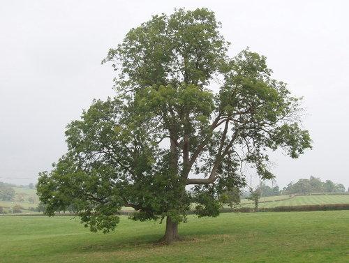 ash.tree.jpg