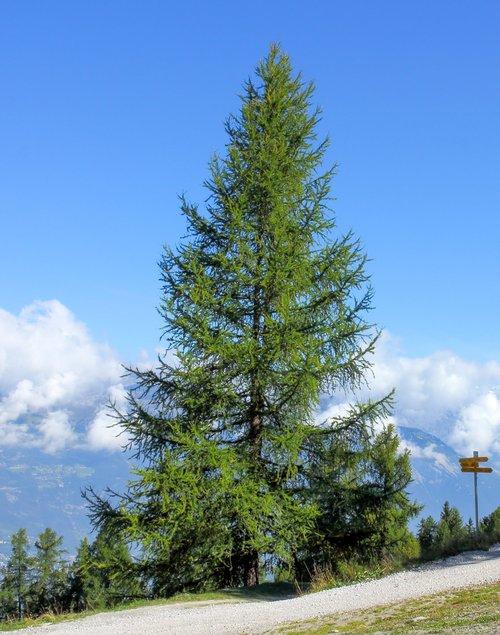 Euopean+Larch+tree.jpg