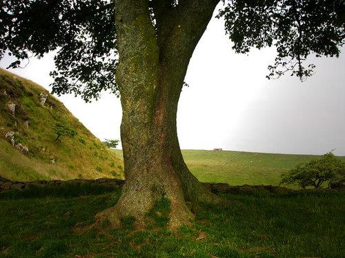 Sycamore+Tree.jpg