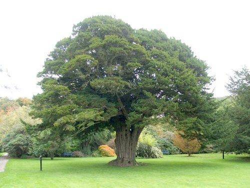 Yew+tree.jpg