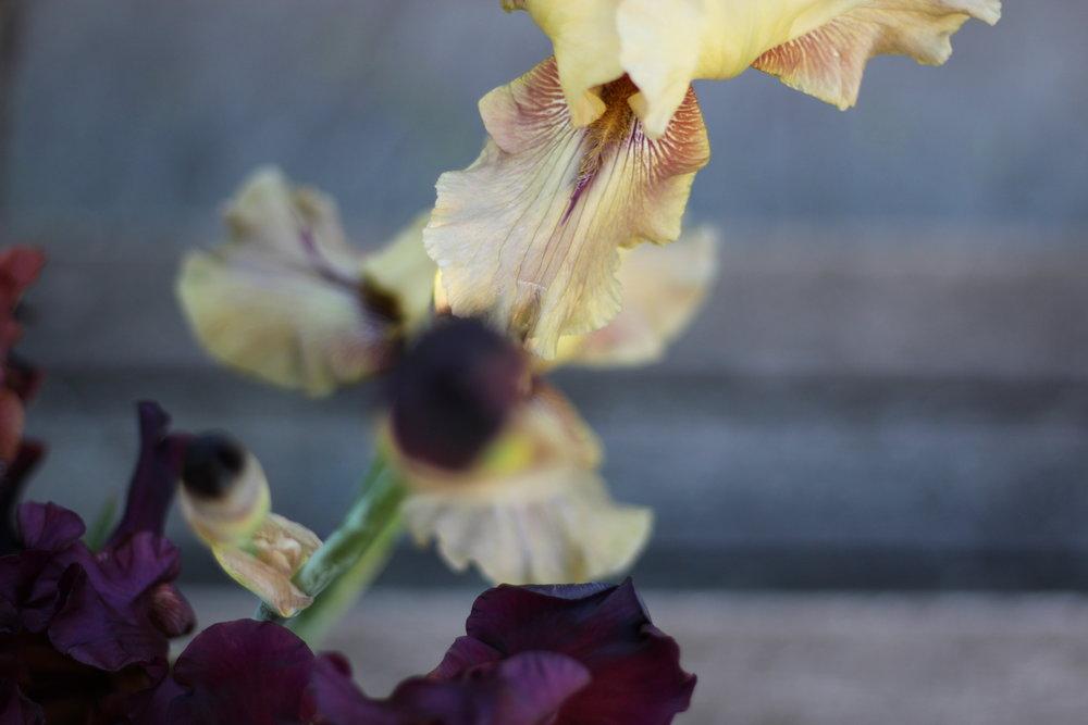 Thornbird_iris.jpg