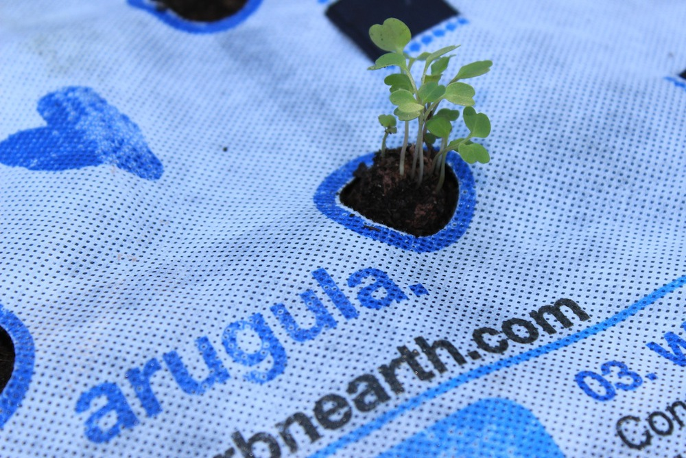 GROWUPS SEEDLINGS CAN BE THINNED AND REPLANTED
