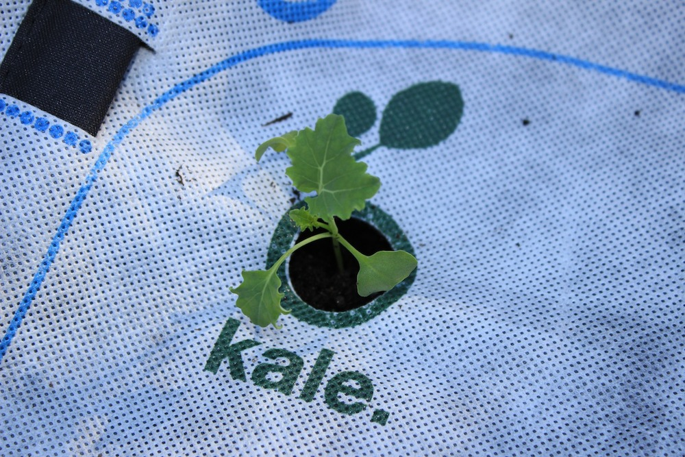 Kale GrowUp Sprout.jpeg