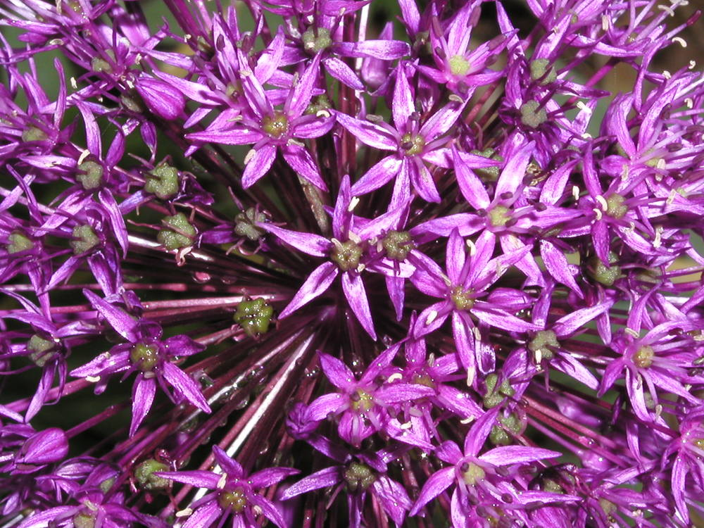 Allium 'Purple Sensation' 5-8-03.JPG