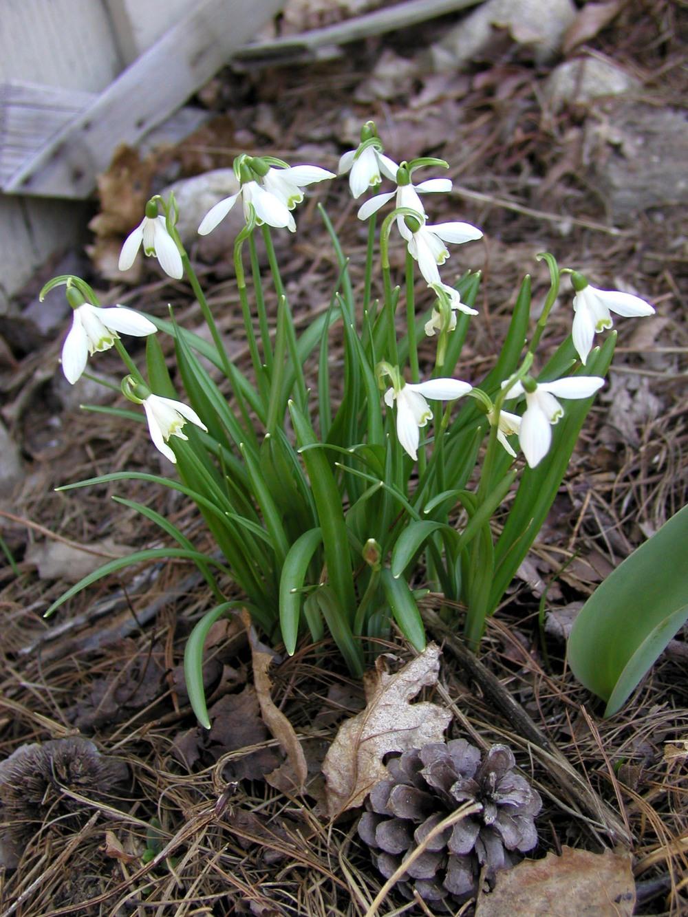 Galanthus nivalis 4-20-04.JPG
