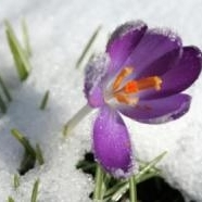 January-Crocus.jpg