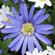 March-Single-anemone-blanda.jpg