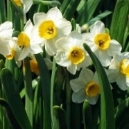 April-Daffodils.jpg