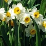 April-Daffodils.jpg