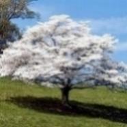 May-dogwood-tree.jpg
