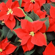 red-poinsettia-flowers-pv.jpg