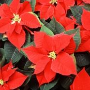 red-poinsettia-flowers-pv.jpg