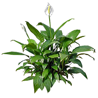 Peace-Lily.png