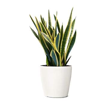 The-Snake-Plant.png