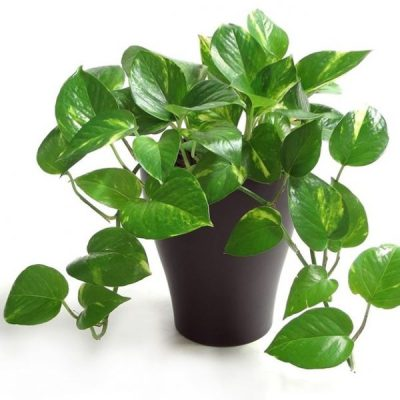 The-Golden-Pothos.jpg