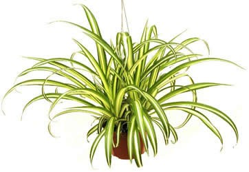 The-Spider-Plant.jpg