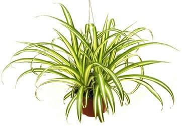 The-Spider-Plant.jpg