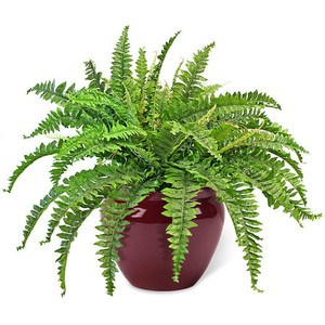 The-Boston-Fern.jpg