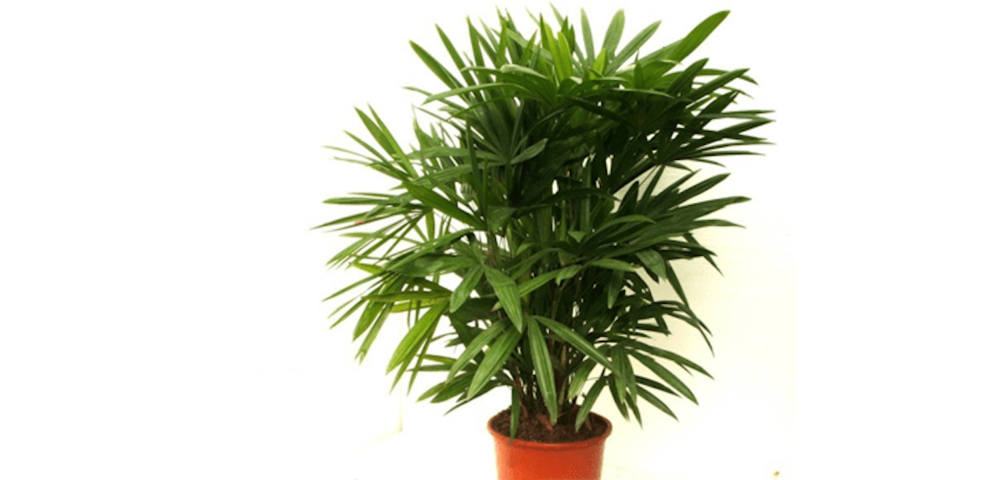 Lady-Palm (1).png