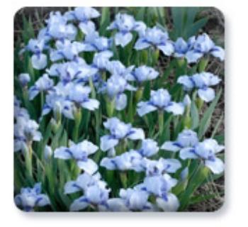 shy_violet.jpg