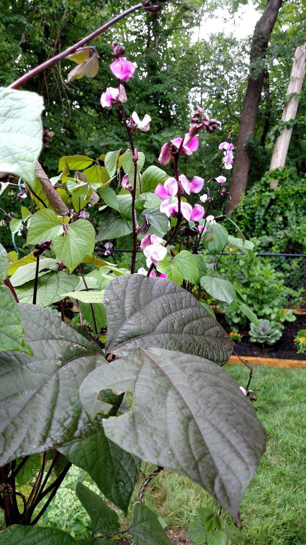 7-20-18 Shapiro Garden 9.jpg
