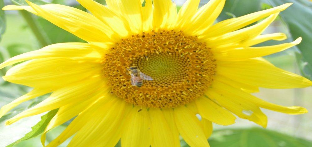 bee on sunflower.jpeg
