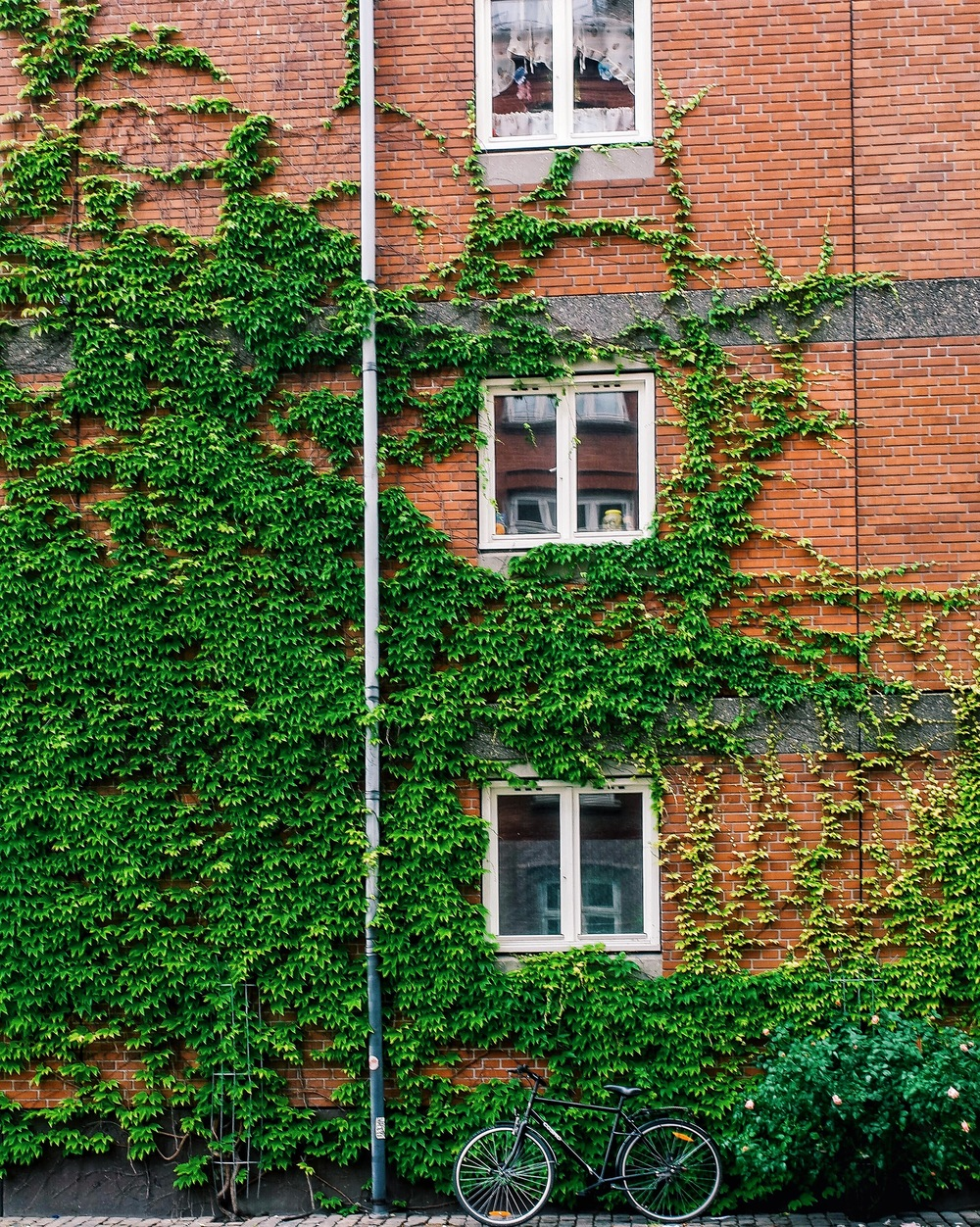An ivy wall in Copenhagen taken with a Samsung NX500