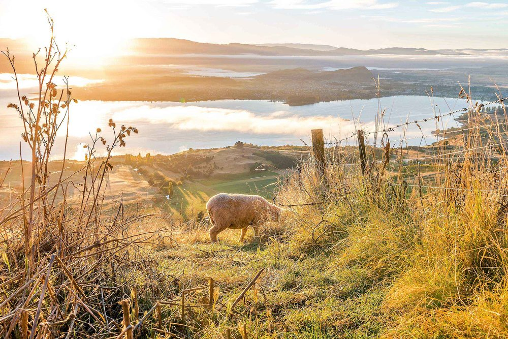 While hiking Roys Peak you will see many sheep along the way!