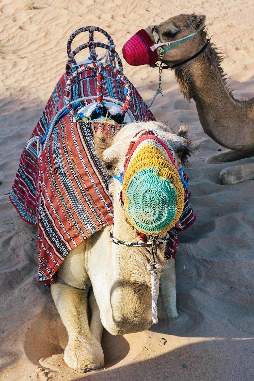 Riding camels at a desert safari in Dubai