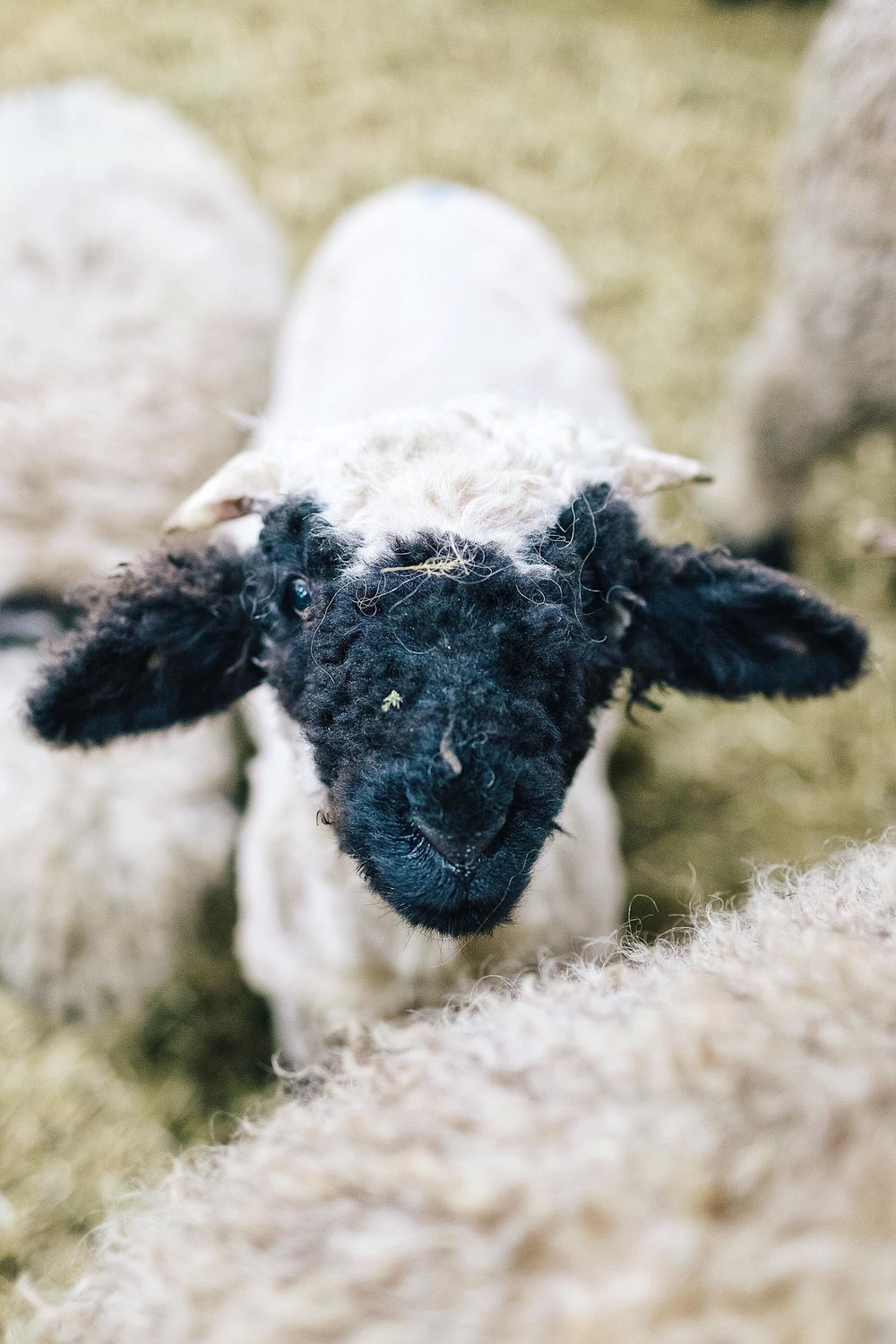 A baby black nose sheep in Switzerland